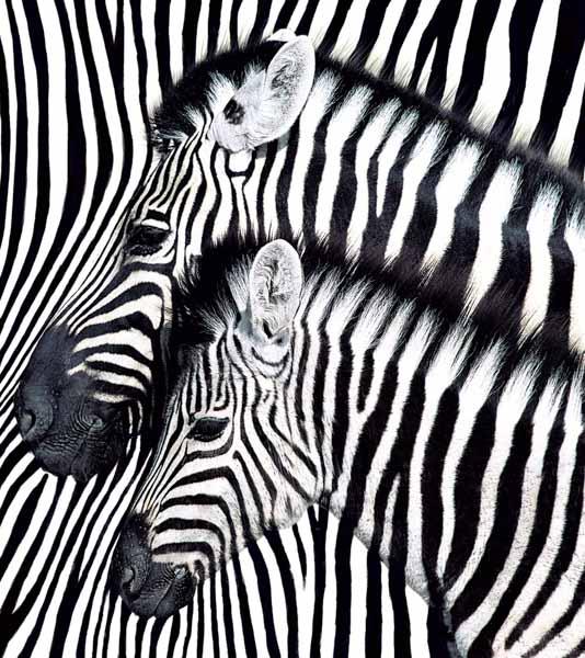 2 Zebras auf einem gestreiften Hintergrund
